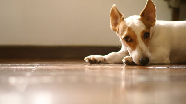 two shots of lonely jack russell terrier lying down looking at camera indoor - collar stock videos & royalty-free footage