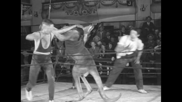 two shots of man boxing kangaroo in boxing ring, referee officiating, crowd watching / kangaroo knocks man down, referee counts over man, man gets up... - känguru bildbanksvideor och videomaterial från bakom kulisserna