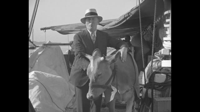 Two shots of Robert Bartlett in street clothes on board ship Effie M Morrissey standing next to Guernsey cow and talking to camera / CU cow / two...