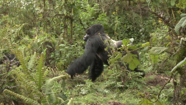 Two silverback gorillas confront each other in the Volcanoes National Park of Rwanda. Available in HD.