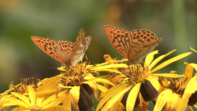 two silver-washed fritillary butterflies (argynnis paphia) on the flowers of a summer ragwort (ligularia dentata) at oku-nikko, tochigi, japan. - jp201806 stock videos and b-roll footage