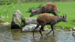 Two sitatunga by pond in the zoo or nature reserve