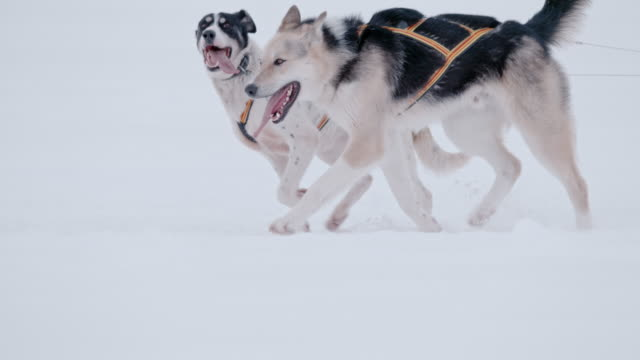 slo mo ls two sled dogs running in the snow - husky stock videos & royalty-free footage