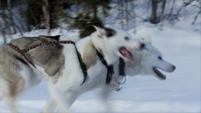 SLO MO, CU, Two sled dogs running on snow, Hemsedal, Norway