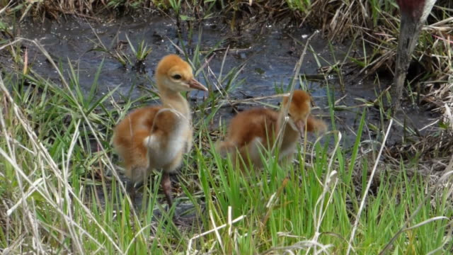 two sleepy sandhill crane chicks - fluffy stock videos & royalty-free footage