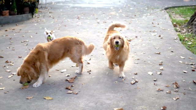two slomo three dogs playing fetch w/ sunshine - tennis ball stock videos & royalty-free footage
