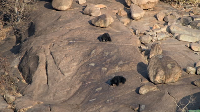 two sloth bear, melursus ursinusm mother with older cub - safari india stock videos and b-roll footage