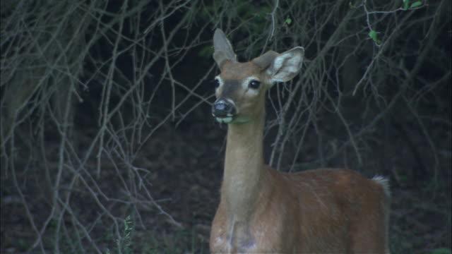stockvideo's en b-roll-footage met two small deer hide under bushes. - hek