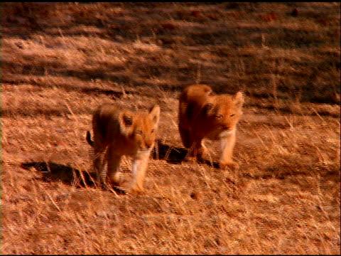 Two small lion cubs walk across bush land, Botswana