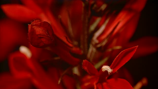 cu t/l  two small red flower buds blooming  / studio city, california, usa - ståndare bildbanksvideor och videomaterial från bakom kulisserna