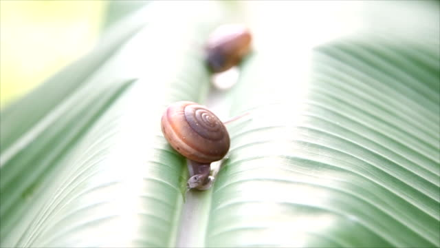 Two snails that were walking on banana leaves.