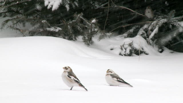 ms pan two snow buntings on snow while sparrow on tree in background / tweed, ontaria, canada - songbird stock videos & royalty-free footage