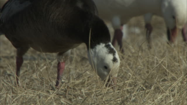 stockvideo's en b-roll-footage met two snow geese with dark and white plumage forage in dry grass. - foerageren