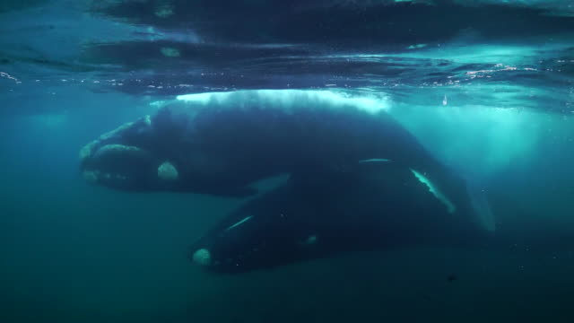two southern right whales mating in the waters of the nuevo gulf, valdes peninsula. - tierpenis stock-videos und b-roll-filmmaterial
