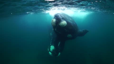 vídeos de stock e filmes b-roll de two southern right whales mating turn to look at camera, nuevo gulf, valdes peninsula. - baleia de bossas