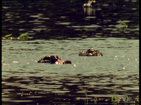 Two spectacled caimans jump and lunge feed for fish in Amazon river