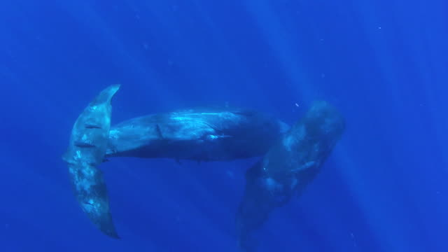 Two sperm whale calves interacting below the surface, the male calf has his penis exposed, north western coast of Mauritius.