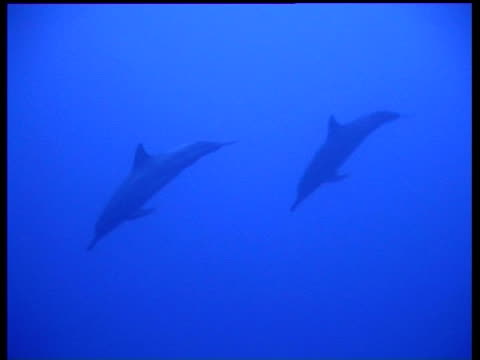 two spinner dolphins, stenella longirostris, swimming, zoom out to divers filming, wa, layang layang, malaysia - cetacea stock videos & royalty-free footage