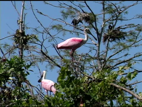 two spoonbills in a tree - perching stock videos & royalty-free footage