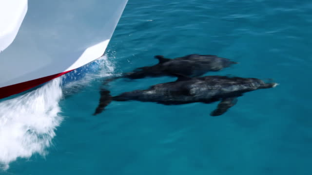 ms ts two spotted dolphin swimming front of boat   / at sea, at sea, bahamas - spotted dolphin stock videos and b-roll footage