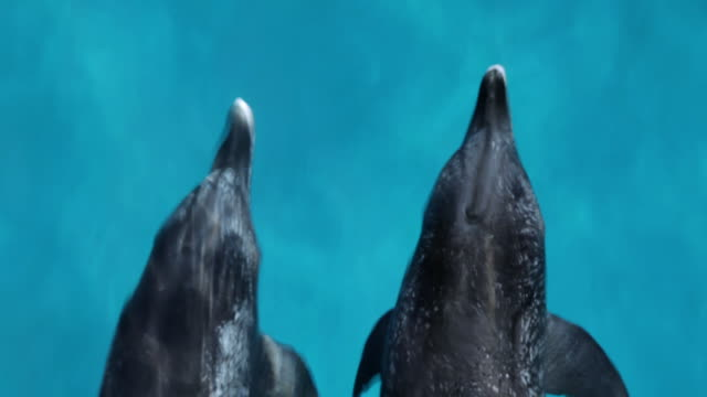 ms ts ds two spotted dolphin swimming surface in ocean / at sea, at sea, bahamas - spotted dolphin stock videos and b-roll footage