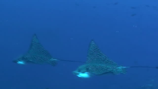 Two spotted eagle rays swim into the current with a couple of sharks in the background, Darwin Island, Galapagos Islands, Ecuador.