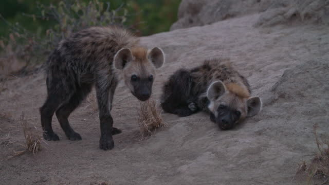 two spotted hyena cubs curled up on a rock - raubtier stock-videos und b-roll-filmmaterial