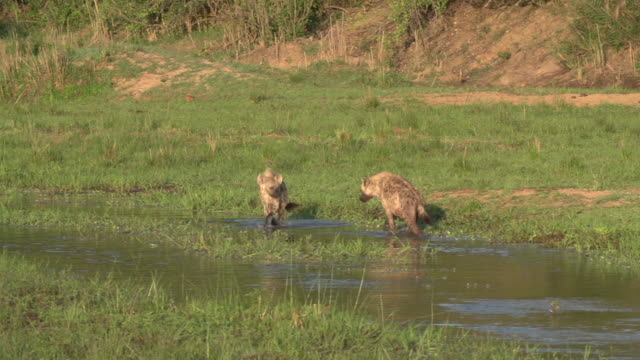 two spotted hyenas splashing, playing and chasing each other in the water of a riverbed, kruger national park, south africa - mpumalanga province stock videos and b-roll footage