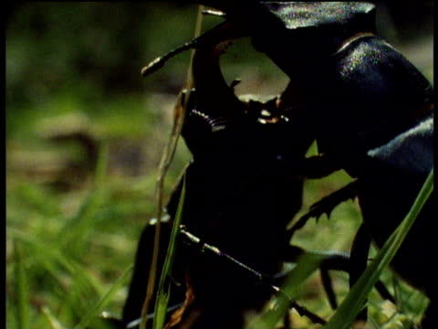 two stag beetles interlocked and fighting on green grass, uk - interlocked stock videos & royalty-free footage
