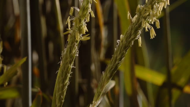 vidéos et rushes de two stalks of foxtail grass begin to flower with small yellow blossoms. available in hd. - tige d'une plante
