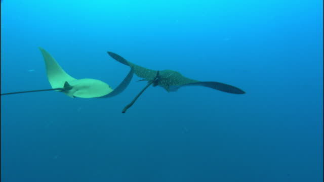 two stingrays swim gracefully in the ocean. - stechrochen stock-videos und b-roll-filmmaterial