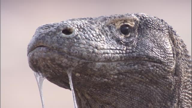 vídeos y material grabado en eventos de stock de two strings of drool hang from the mouth of a komodo dragon. available in hd. - reptile