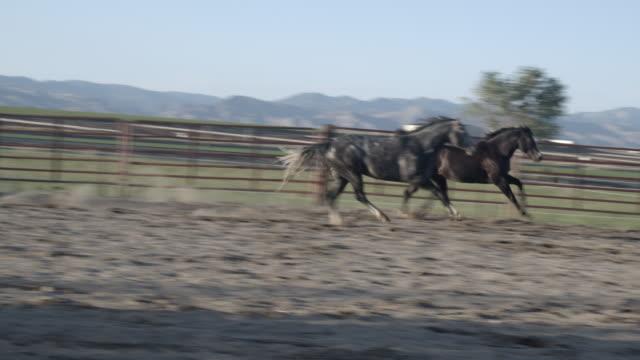 två stud quarter horse hingstar i en arena på en ranch fighting och delta i varandra - galoppera bildbanksvideor och videomaterial från bakom kulisserna