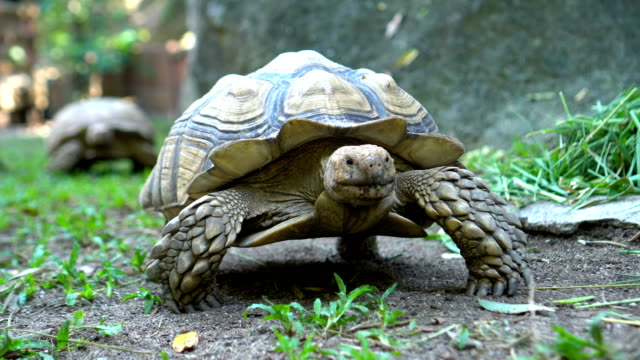 two sulcata tortoises walking in nature - turtle shell stock videos & royalty-free footage