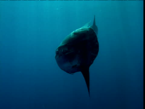 stockvideo's en b-roll-footage met two sunfish swim away from camera, california - klompvis