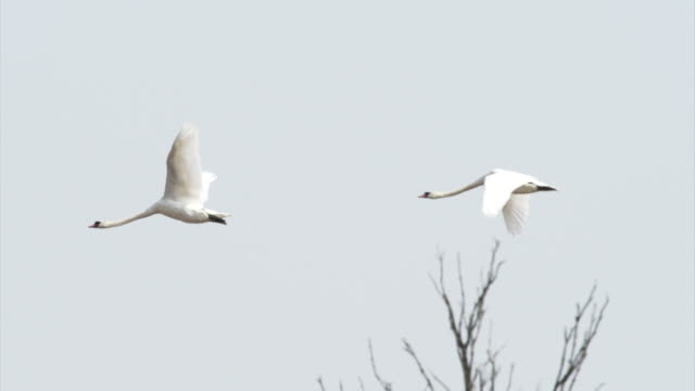 two swan - mute swan stock videos & royalty-free footage