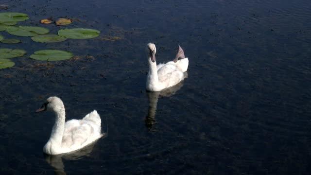 two swans  1080/60i - wasservogel stock-videos und b-roll-filmmaterial