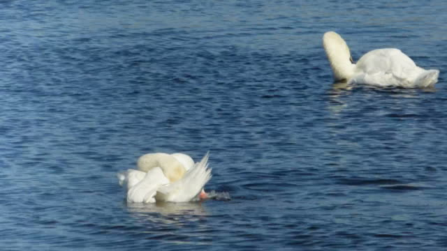 Two Swans Bathing