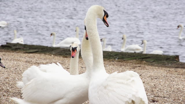 ms two swans turning their heads and forming heart shape together near rivers edge / abbotsbury, england, united kingdom - cigno video stock e b–roll