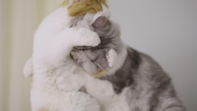 vídeos y material grabado en eventos de stock de dos gatos tabby jugando en casa - acicalarse