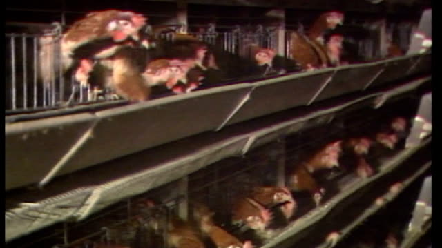 two thirds of shop-bought chickens could contain food poisoning bug; tx 3.12.1988 england: battery chicken in cages various shots eggs along on... - salmonella stock videos & royalty-free footage