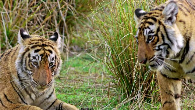 vidéos et rushes de two tiger siblings fight - animaux à l'état sauvage