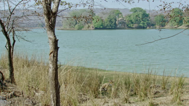 vídeos y material grabado en eventos de stock de two tigers at behind the bushes - comportamiento de animal