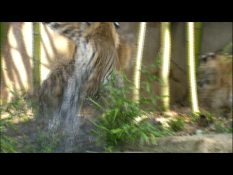 two tigers chase each other out of the water. - other stock videos & royalty-free footage