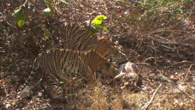 Two tigers drag their axis deer kill in a forest in Pench, India.