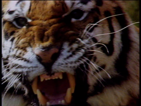 two tigers snarl at camera, india - aggression stock videos & royalty-free footage