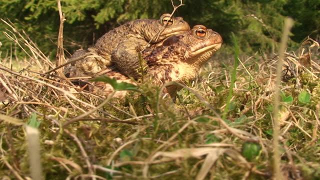 vídeos y material grabado en eventos de stock de dos toads migración - comportamiento de animal