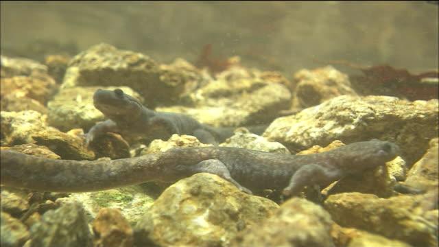 two tohoku salamanders crawling around underwater, shirakami mountains, akita, aomori - salamander stock videos and b-roll footage