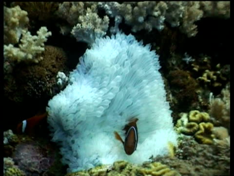 stockvideo's en b-roll-footage met two tomato clownfish swimming over whte anemone, sipadan, borneo, malaysia - clownvis