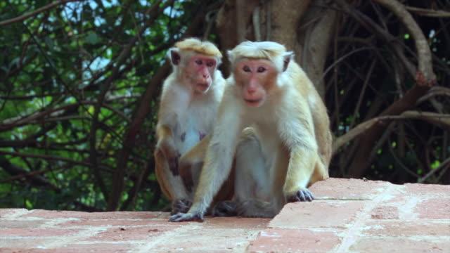 Two Toque macaque monkeys grooming in Sigiriya, Sri Lanka.